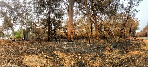 Once Beautiful Angophora costata Forest Failford Road, Failford, NSW