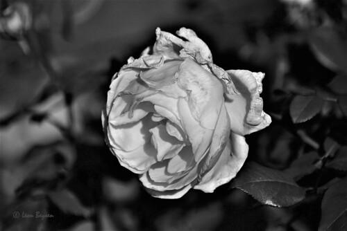 0366 last rose