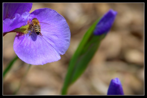 Guelph Ontario Canada ~ Guelph University ~ Arboretum ~ Pansy Flower  & Bee