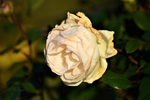 0365 last rose