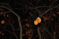 ice on the persimmons