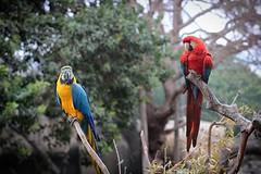 Two Squawking #santabarbara #zoo #macaw #bird #canon1500d #50mm