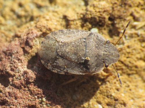 Sciocoris helferi (Pentatomidae - Shieldbugs)