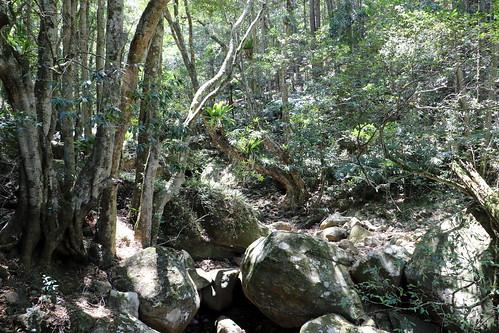Coachwood on the left (Ceratopetalum apetalum)