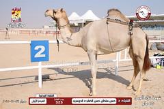 الصور .. منافسات مهرجان قطر الخامس عشر للأصايل (شوط تلاد الجمل 15 عام) صباح  27 -11-2019