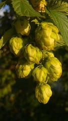 Close-up of hops