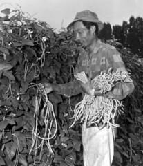 Gathering chinese vegetables - Hobe Sound
