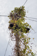 Lamppost overgrown by climbing plant