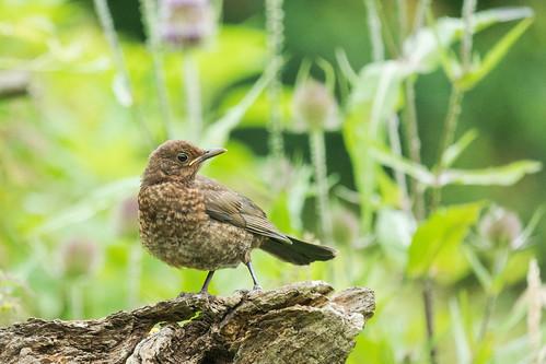 DSC06846 Merel (juv.), Blackbird, Turdus merula.