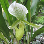 Green Lady Slipper Orchid by Elaine Robinson