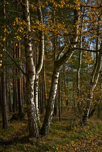 Trio of Birches
