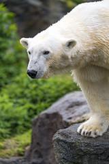 Polar bear at the edge