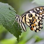 3rd PDI League 3 - Citrous Swallowtail by Andrew Chu