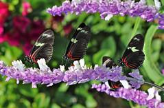 Doris longwings