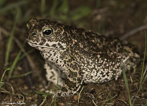 Sapo Corredor (Epidalea calamita)   Natterjack Toad