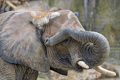 Elephant with trunk on the eye
