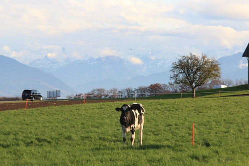 Swiss Cows & the Alps