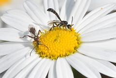 Pseudofoenus sp  and Labium (Labeninae) sp  Wasps