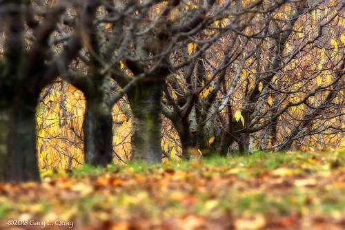 Apple Trees When the Leaves Have Fallen, Odell, Oregon