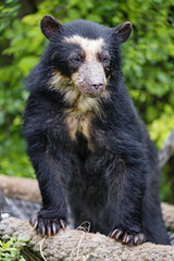 Cute young spectacled bear posing