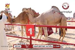 الصور .. منافسات مهرجان قطر الخامس عشر للأصايل (شوط الجمل شرايا 15 عام) صباح  28 -11-2019