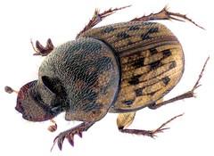 Onthophagus variegatus (Fabricius, 1798) Female