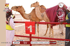 الصور .. منافسات مهرجان قطر الخامس عشر للأصايل (شوط الجمل شرايا 20 مفتوح) مساء  28 -11-2019