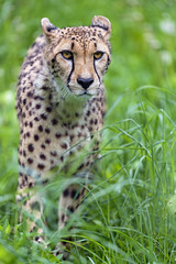 Cheetah in the high grasses
