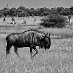 Wildebeest by John Russell