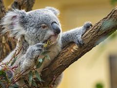 Koala holding and eating eukalyptus