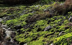 Moss / Jungermannia vulcanicola / 茶蕾苔(ちゃつぼみごけ)