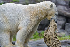 Polar bear lifting rope