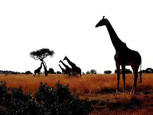 0895ex3 giraffes in silhouette