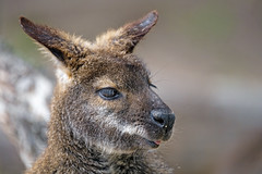Last wallaby portrait