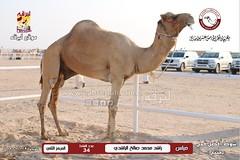 منافسات مهرجان قطر الخامس عشر للأصايل (شوط أفضل فحل منتج) مساء  29 -11-2019