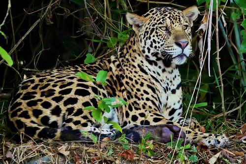 International Jaguar Day – Nov 29th