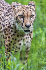 Last cheetah picture