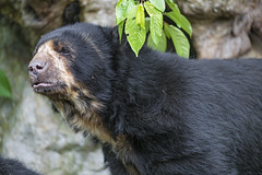 Profile of a spectacled bear