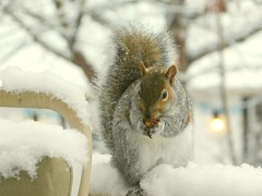 Gray Squirrel Munches Peanut in Snow.