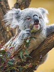 Last koala picture