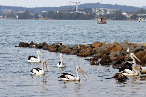 Pelicans at Eleebana Boat Ramp