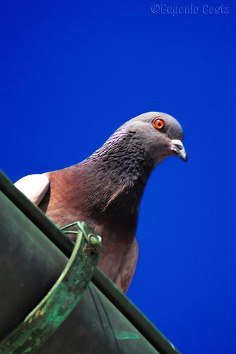 Un piccione che tubava...- A pigeon booming ...