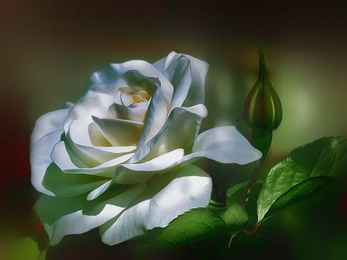 La rosa....