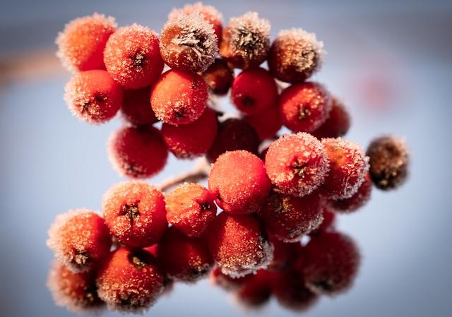 Frosty Rowan Berries