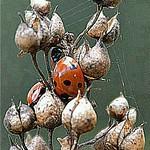 01 three ladybirds alex mullen by Alex Mullen