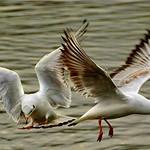 02 two gulls alex mullen by Alex Mullen