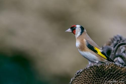 Carduelis carduelis (Goldfinch).