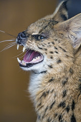 Pofile of an angry serval