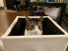 Amelia #cat in box