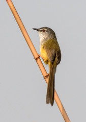 Yellow-bellied Prinia